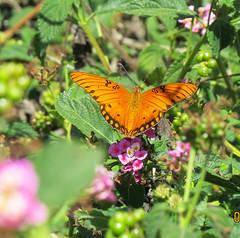 Gulf Fritillary South Coast Botanic Garden_4825 (pekabo90401) Tags: butterflies gulffritillary southcoastbotanicgarden pekabo90401