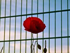 Poppy flower (echumachenco) Tags: sky flower salzburg grid austria sterreich himmel poppy buds blume gitter mohn knospen liefering