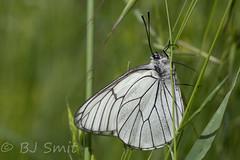 Black-veined White / Groot geaderd witje (Aporia crataegi) (BJSmit) Tags: insect bulgaria insekt blackveinedwhite aporiacrataegi pieridae aporia kresna grootgeaderdwitje blagoevgradprovince