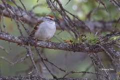 Chipping Sparrow (Canon Queen Rocks (980,000 + views)) Tags: trees wild nature birds wings wildlife branches beak feathers sparrow perched markings mothernature avian chippingsparrow lobsterit
