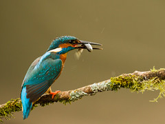 Kingfisher and Catch (StProc.) Tags: wild nature spring kill adult kingfisher catch prey predator alcedoatthis stproc