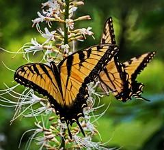 Swallowtails Feeding (mp13 nhnc) Tags: swallowtail bug bokeh longwood l longwoodgardens