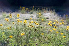 Frosty Field (DaveLawler) Tags: autumn fall cool weather early morning sun flowers yellow massachusetts frost