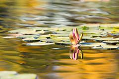 Liquid Gold (mclcbooks) Tags: flower flowers floral waterlily waterlilies lilypads water pond reflections denverbotanicgardens colorado fall autumn gold