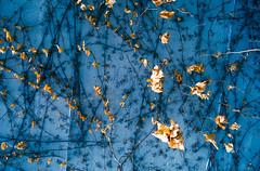 Autumn leaves (roccopossidente) Tags: edera saturazione foglie floating branch blue