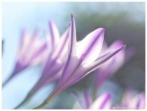 Spring Star 110604 #06