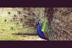 Pavo cristatus (Joz3.69) Tags: bird animal animals vintage colombia pentax gimp sigma kr 75300mm gigante huila indianpeafowl pavocristatus silvania f456 75300mmf456 hotelcasagrande sigmadlzoom75300mm1456 udaw pentaxkr