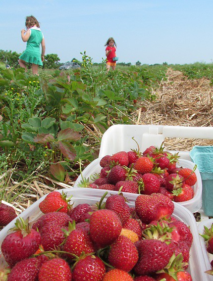 Strawberry Picking with the Kids