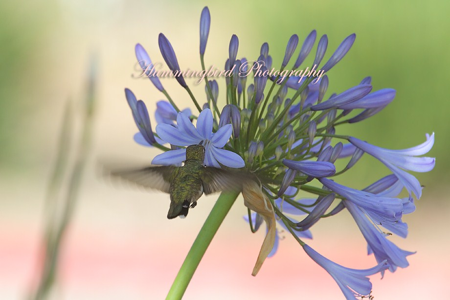 Agapanthus and Hummingbird 062011