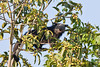 binturong SNG-9547 (shirl6900) Tags: nature thailand mammal binturong asianbearcat arctictisbinturong