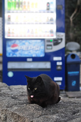 DSC_3906 Black Cat (Hiro0813) Tags: black tongue japan cat photography japanese photo nikon picture kobe machines  vending       d5000
