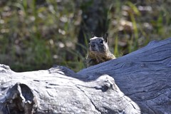 whats ya doing? (pullar) Tags: californiagroundsquirrel orav