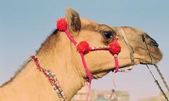 Decked up... (Batool Nasir) Tags: animal domestic camel editorial batoolnasir