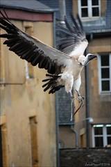 Hol's der Geier (1/2) (Manurva) Tags: belgium belgique vulture chteau bouillon spectacle vautour fauconnerie