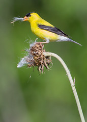 American Goldfinch by Steve Gifford (Steve Gifford - IN) Tags: county nature birds river photo mine wildlife thistle goldfinch steve picture indiana columbia national photograph steven society gibson refuge audubon gifford nwr ias haubstadt patoka