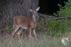 White-tailed Fawn at Big Brook (RGL_Photography) Tags: animalkingdom animals bigbrookpark deer fawn jerseyshore monmouthcounty mothernature nature nikonafs200500mmf56eedvr nikond500 odocoileusvirginianus whitetaileddeer wildkingdom marlborotownship newjersey unitedstates us