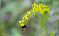 Ragweed Bee (Gabriel FW Koch (fb.me/FWKochPhotography on FB)) Tags: bee ragweed yellow blackbee macro bokeg bokeh dof garden flyinginsect wild wildlife insect outside wings eos bumblebee sun sunlight