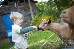 Goats must love kids (grilljam) Tags: autumn october2016 seamus 4yrs goats feedingtime leaveswillwork