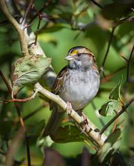 White-throated Sparrow (Wes Aslin) Tags: whitethroatedsparrow britishcolumbia canada abbotsford avian zonotrichiaalbicollis