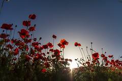 poppies silhouette (Fr@tes) Tags: castellucciodinorcia castelluccio colori colors explore canon eos fioritura
