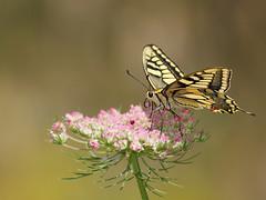 MACHAON (Papilio machaon) ! (Lépidoptère Papilionidae) (aziouezmazouz) Tags: macro cute nature butterfly amazing colours bokeh bellissima vibrantcolours canon400mm saariysqualitypictures