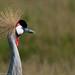 Amboseli, Black Crowned-Crane