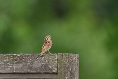 Sing Song Sparrow DSC_5351 by Mully410 * Images