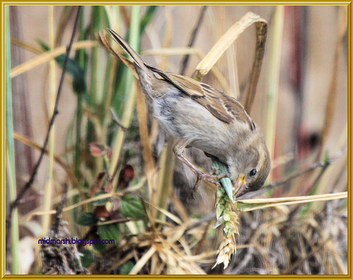 Juvenile House Sparrow 2