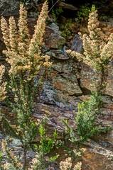 120418_Baccu Locci_Plant against rock (Zijlstra Hans) Tags: pink plant rocks schist blueishbrownish