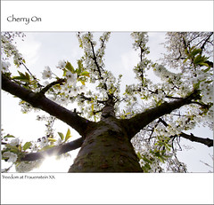 2012 04 17 Treedom At Fraunstein - Cherry On (Mister-Mastro) Tags: tree germany cherry blossom blte arbre baum kirsche 100commentgroup fraunstein mygearandme mygearandmepremium mygearandmebronze mygearandmesilver mygearandmegold ringexcellence