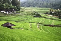 Rice terraces (~Vibeke~) Tags: bali canon indonesia riceterrace
