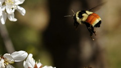 Incoming.  Tricolored bumble bee (The_Bricklayer) Tags: inflight sigma bee landing 2470mm wow1 wow2 wow3