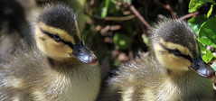 IMG_1769a (gladner (100,000 views? Thanks!)) Tags: baby birds duck duckling ducks citypark babyduck thegalaxy 10nw 5wonderwall