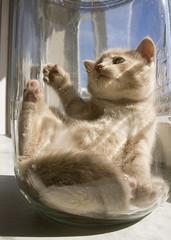 20090601_9999_226b (Fantasyfan.) Tags: light pet cute glass animal topv111 furry topv333 kitten fluffy jar inside reach paws tamaki fantasyfanin highqualityanimals