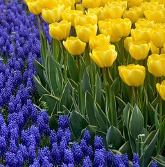 tulip time in Istanbul (yonca60) Tags: flower green yellow turkey purple daffodil tulip grapehyacinth emirgan thegalaxy mixedflowers fantasticflower flowersarebeautiful excellentsflowers natureselegantshots exquisiteflowers mimamamorflowers panoramafotogrfico saariysqualitypictures greatshotss macroselsalvador mygearandme mygearandmepremium mygearandmebronze dblringexcellence tplringexcellence flickerflrescloseupmacros lalebahesi11tulipgardenistanbul