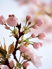 江戸吉原おいらん道中 -イチヨウ桜- (Neconote) Tags: flower japan pen tokyo olympus sakura asakusa 40150mm f456 mzuiko epl2