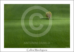 Colline Marchigiane (14244) (Danilo Antonini (Pescarese)) Tags: italy tree verde green nature field landscape italia hill ground natura hills campo lonely terra albero prato marche solitario paesaggio colline collina macerata pianta agricoltura solitaria agricolture matelica coltivazione marchigiane