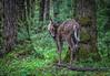 White Tail Deer, Cades Cove (jeannie'spix) Tags: deer cadescove thegreatsmokymountains smokeymountains whitetaildeer smokymountainbear deersmokymountains favoritesmokymountains endofyear2012