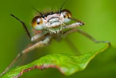 (Dan Deakin) Tags: nottingham dx d300 deakin attenboroughnaturereserve bluetaileddamselfly rufescens extensiontubes ischnuraelegans nikon105mmvr dandeakin 67mmextensiontubes