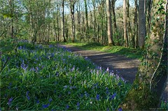 Bluebells in Carton (bbusschots) Tags: wood ireland flower forest path trail carton wildflower bluebell maynooth pathway topaz kildare hyacinthoides hyacinthoidesnonscripta cartonestate topazadjust