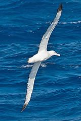 010001-IMG_2345 Wandering Albatross (Diomedea exulans ?) (ajmatthehiddenhouse) Tags: bird 2012 wanderingalbatross diomedeaexulans diomedea exulans wpo2012