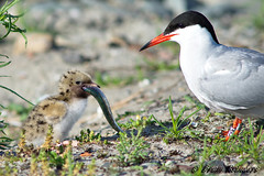 Visdief (Sterna hirundo) met jong-Common Tern (Sterna hirundo) with young (Bram Reinders) Tags: holland nature nikon wildlife bram nederland thenetherlands natuur groningen nikkor herring haring commontern eemshaven farmsum reinders nikkor300mmf4ifed bramreinders nikond7000 wwwbramreindersnl nieuwsgierigheidisdebronvanallekennis curiosityisthesourceofallknowledge jongevisdief bramreindersfarmsum youngtern visdiefsternahirundometjong jongestern