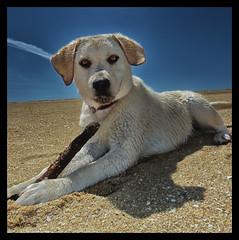 LOLA (michy ke) Tags: labrador lola perro cachorro mascotas