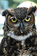 It's Owl About You (Domesticated Diva) Tags: owl 2012 oakridgetn specanimal secretcityfestival avianexcellence birdperfect