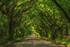 Tunnel of Trees (Amy Hudechek Photography) Tags: road trees green spring southcarolina tunnel getty gettyimages edistoisland botonybay amyhudechek