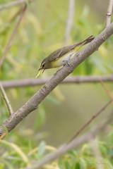 _53F1261 Philadelphia Vireo (~ Michaela Sagatova ~) Tags: spring dundas birdphotography vireophiladelphicus dvca philadelphiawarbler michaelasagatova