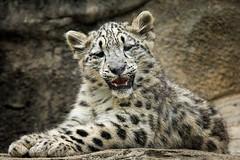 Snow Leopard Cub (John Greg Jr) Tags: akron akronzoo animals carnivores mammals ohio snowleopard usa unitedstates zoo exif:isospeed=900 camera:model=nikond7100 exif:model=nikond7100 exif:make=nikoncorporation exif:aperture=56 exif:lens=1803000mmf3556 exif:focallength=230mm camera:make=nikoncorporation