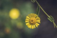 Like a Sun (Moises Caballero Lopez) Tags: 1770mm 70mm bokeh flor flower k3 mcaballero macro naturaleza nature pentax sigma sigma1770mm1284dcmacrohsmcontemporary dof f40 profundidaddecampo