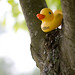 Ducky in tree (Patrick Lindsay photo)