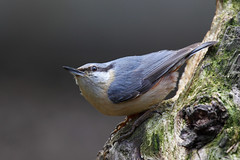 11 June. Nuthatch (arthurpolly) Tags: wild colour bird nature birds wales canon eos countryside woods wildlife elements nuthatch avian beautifull northwales topshot blueribbonwinner liesure 50d caon supershot topshots 5photosaday passionphotography rhydymwyn anawesomeshot avianexcellence diamondclassphotographer flickrdiamond citrit theunforgettablepictures brillianteyejewel unforgettablepictures betterthangood goldstaraward goldstarawardgoldmedalwinner natureselegantshots rubyphotographer flickrlovers 5halloffame goldenheartaward 100commentgroup dragondaggerphoto dragondaggeraward dragondraggerphoto flickrclassique dragonsdanger atomicaward birdperfect theoriginalgoldseal flickrportal
